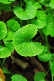 Gotu kola Royalty Free Stock Photo