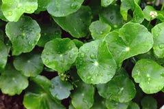 Gotu Kola, Asiatic Pennywort, Centella asiatica, green Leaves Royalty Free Stock Image
