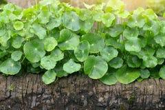 Gotu Kola, Asiatic Pennywort, Centella asiatica, green Leaves Royalty Free Stock Photography