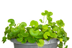 Gotu kola, Asiatic pennywort, Indian pennywort Stock Image