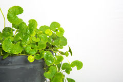 Gotu kola, Asiatic pennywort, Indian pennywort Royalty Free Stock Image