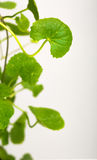 Gotu kola, Asiatic pennywort, Indian pennywort Royalty Free Stock Images