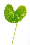 Gotu kola, Asiatic pennywort, Indian pennywort Stock Photography