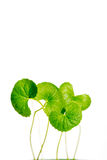 Gotu kola, Asiatic pennywort, Indian pennywort Royalty Free Stock Photo