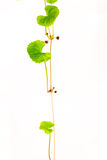 Gotu kola, Asiatic pennywort, Indian pennywort Stock Photo