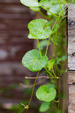 Gotu kola, Asiatic pennywort, Indian pennywort Royalty Free Stock Photography