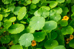 Gotu kola, asiatisk pennywort, grön bladbakgrund Arkivfoto
