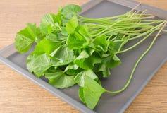 Gotu Kola or Centella Asiatica Plant on Tray Stock Images