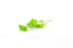 Gotu kola Royalty Free Stock Photography