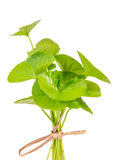 Gotu kola Stock Photo