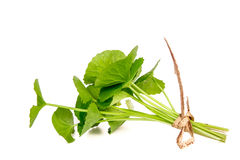 Gotu kola Royalty Free Stock Images