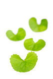 Gotu kola Stock Photography
