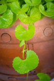 Gotu kola leaf herb Royalty Free Stock Photography