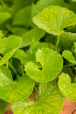 Gotu kola leaf herb Royalty Free Stock Image