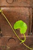 Gotu kola leaf herb Stock Photo