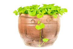 Gotu kola leaf herb alternative medicine Royalty Free Stock Images