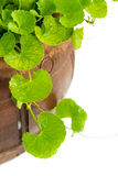 Gotu kola leaf herb alternative medicine Royalty Free Stock Photography
