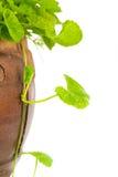 Gotu kola leaf herb alternative medicine Stock Image