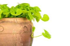 Gotu kola leaf herb alternative medicine Royalty Free Stock Image
