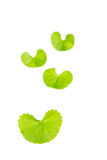 Gotu kola leaf Royalty Free Stock Photos