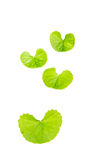 Gotu kola leaf Royalty Free Stock Photo