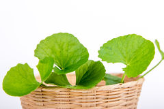 Gotu kola leaf Royalty Free Stock Photography