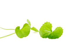 Gotu kola leaf Stock Photo