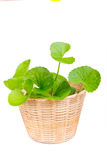 Gotu kola leaf Stock Images
