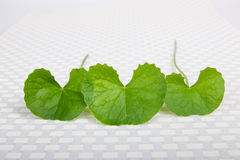 Gotu kola leaf Royalty Free Stock Image