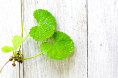 Gotu kola leave Royalty Free Stock Image