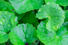 Gotu kola leaved Royalty Free Stock Images