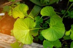 Gotu kola leaves or centella Stock Images