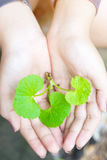 Gotu kola leaves. In hand Royalty Free Stock Photography