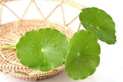 Gotu kola leaves Royalty Free Stock Photo