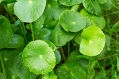 Gotu kola leaves selective focus with shallow depth of field Royalty Free Stock Photo