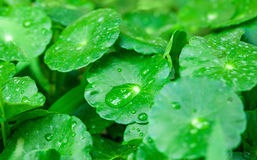 Gotu kola leaves with water drops Royalty Free Stock Photography