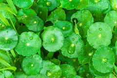 Gotu kola leaves with water drops Stock Photos