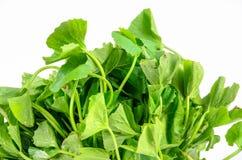 Gotu kola leaves on white background Stock Image