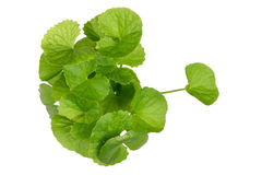 Gotu kola leaves Royalty Free Stock Photos
