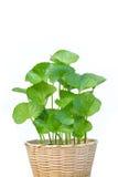 Gotu kola leaves Royalty Free Stock Image