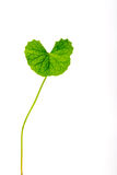 Gotu kola leaves Stock Image