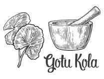 Gotu kola - medicinal plant.  Vector vintage engraved illustration Royalty Free Stock Photo