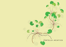 Gotu kola plant or  Centella asiatica on light yellow background isolated picture  herb product for food  alternative Royalty Free Stock Photos