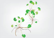 Gotu kola plant or  Centella asiatica on light yellow background isolated picture  herb product for food  alternative Royalty Free Stock Images