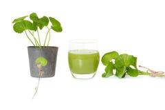 Gotu kola's leafs drink Stock Photo