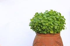 Gotu Kolabaum Stockfoto