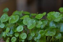 Gotu-Kolabaum, Centella asiatica L Urb Lizenzfreie Stockfotografie