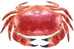 Gotujący brown krab lub jadalny krab obrazy royalty free