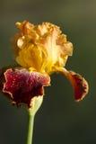 Goud en de Duitse Lange Gebaarde Iris van Bourgondië Royalty-vrije Stock Foto