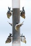 Goud finches bij een voeder royalty-vrije stock foto